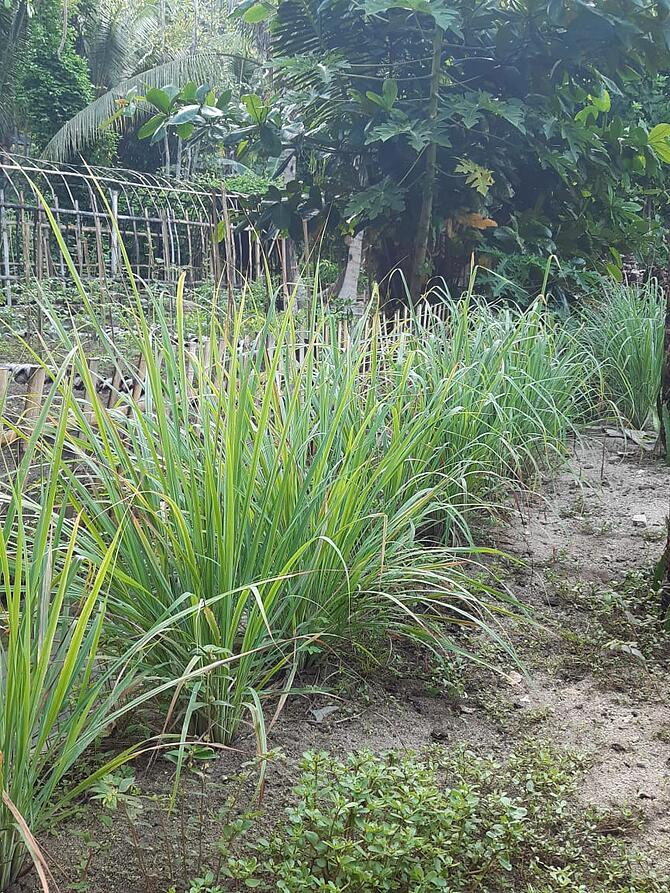 Lemongrass growing Permaculture Gardens