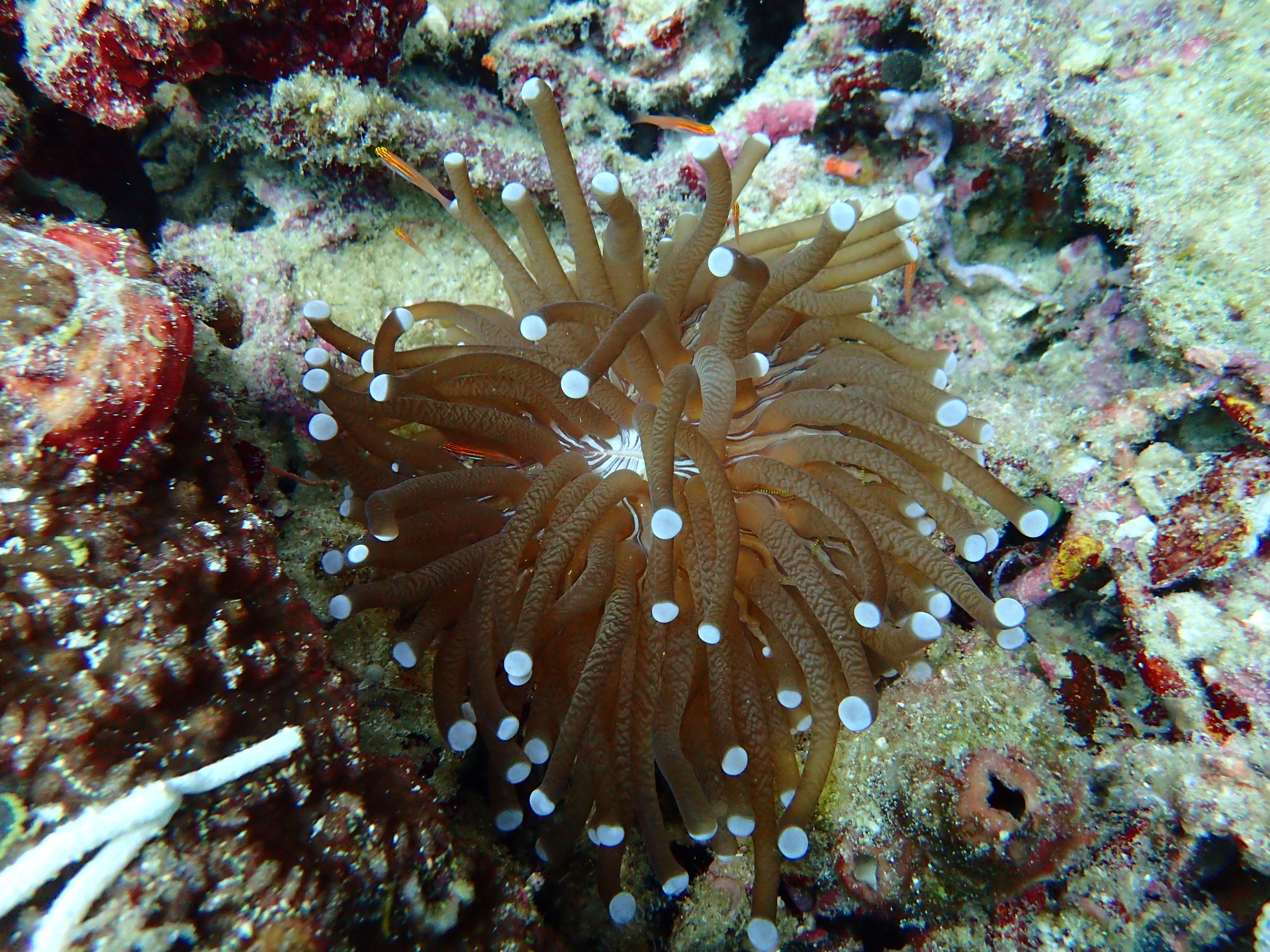 Heliofungia coral at Bawah Reserve