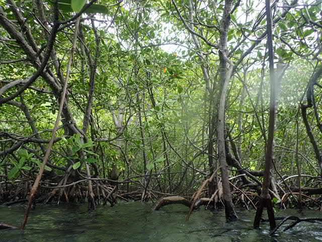 Mangrove tree sea