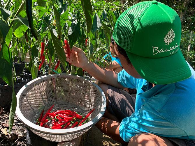 Red Chilli growing at Bawah Reserve permaculture gardens
