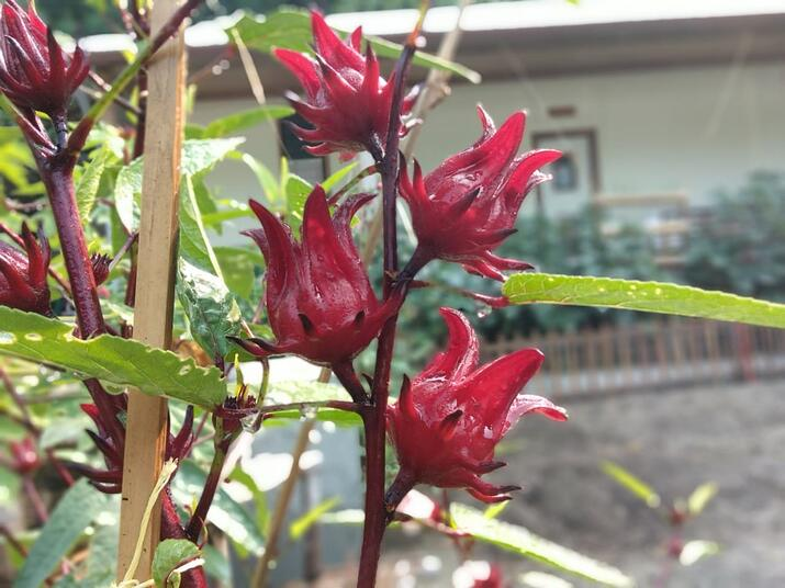 Rosella Plant Permaculture Gardens