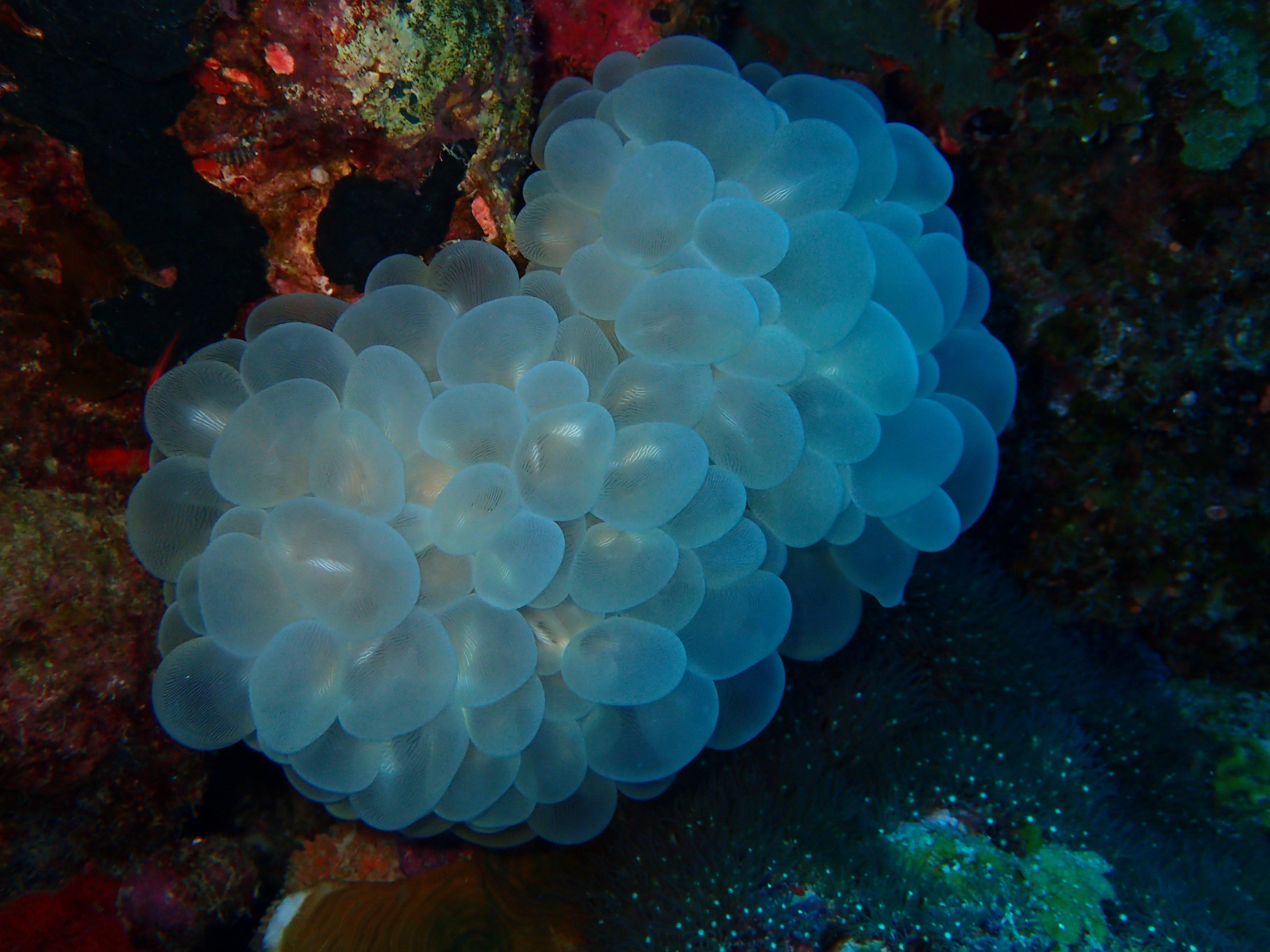 Plerogyra Coral at Bawah Reserve