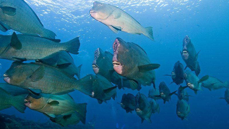 bumphead_parrot_fish
