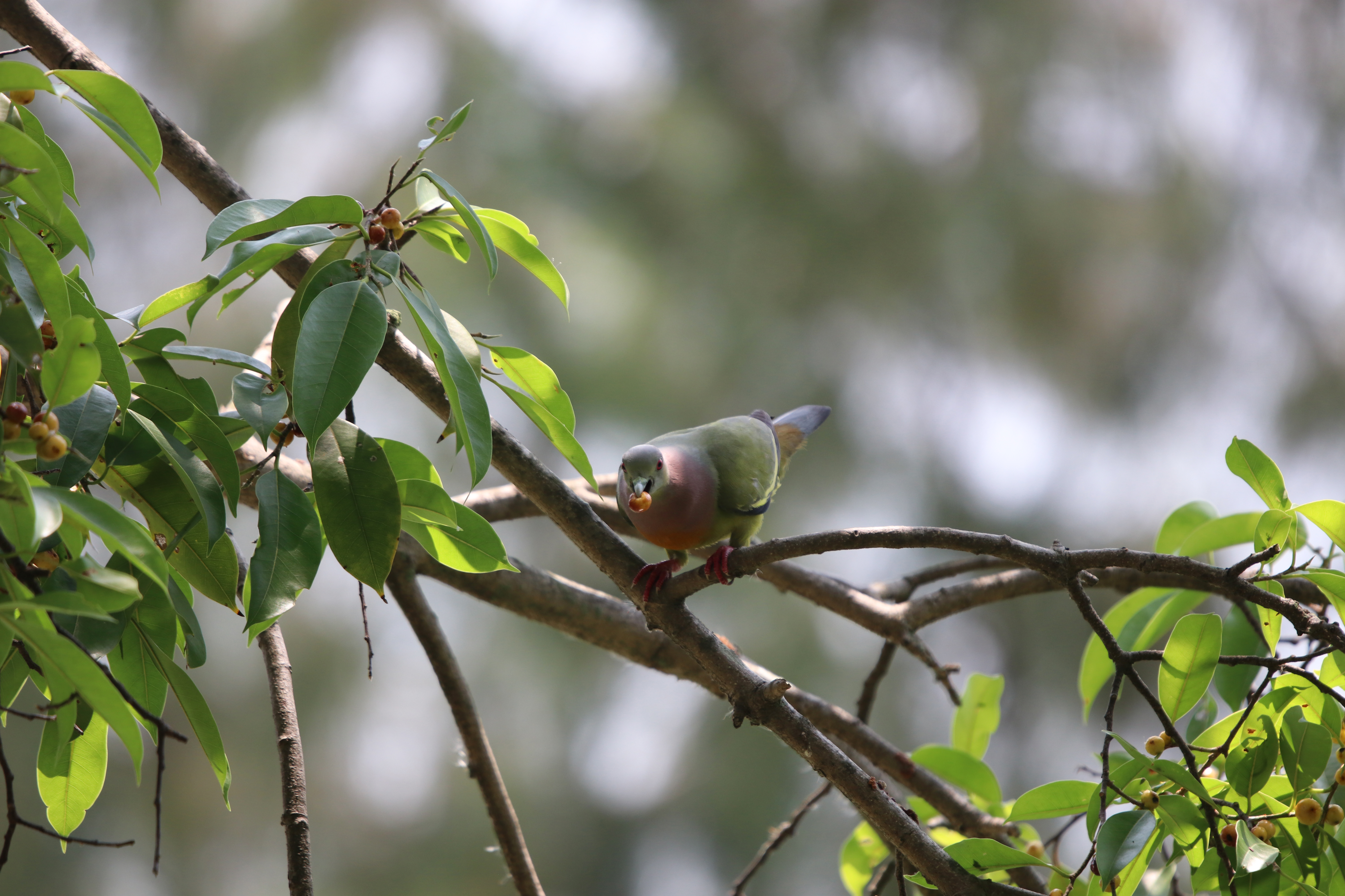 emerald-dove-colorful-bird-eating-fruit-tree-branch-forest