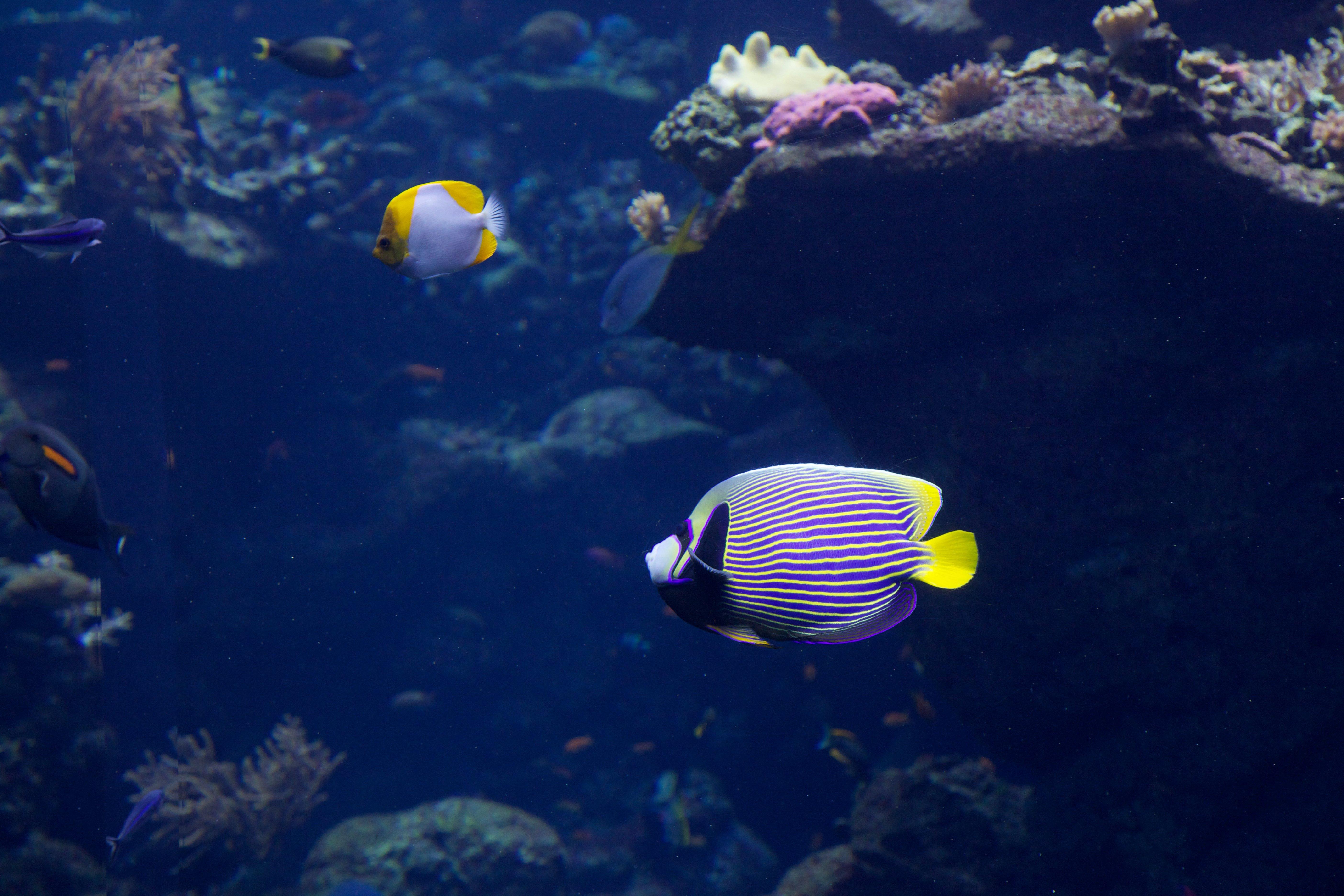 emperor_angelfish (4)